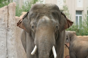 Elefant Zoo Leipzig